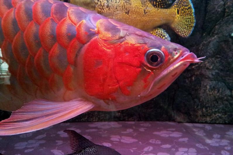 汕头印尼小红龙 汕头龙鱼 汕头水族批发市场第2张
