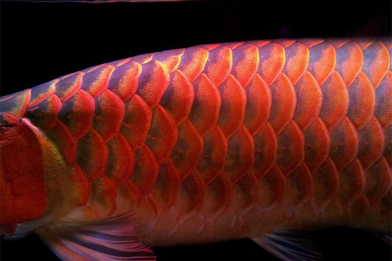 汕头印尼小红龙 汕头龙鱼 汕头水族批发市场第5张
