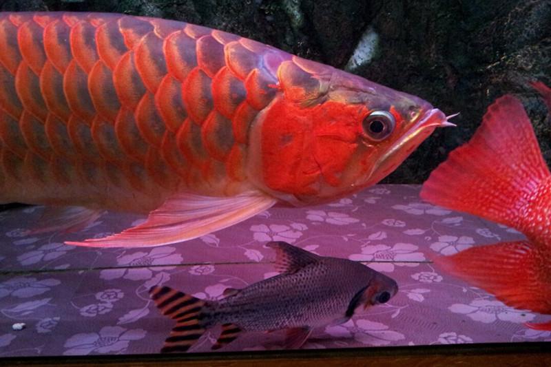 汕头印尼小红龙 汕头龙鱼 汕头水族批发市场第3张