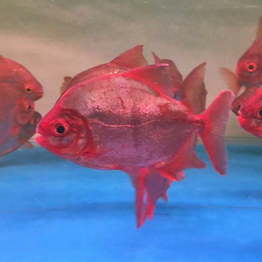 汕头玫瑰银版鱼