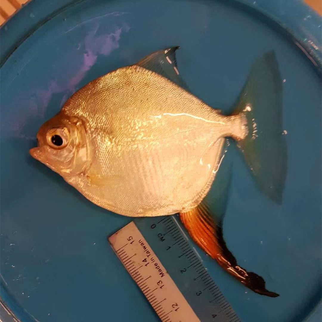 汕头红勾银版鱼